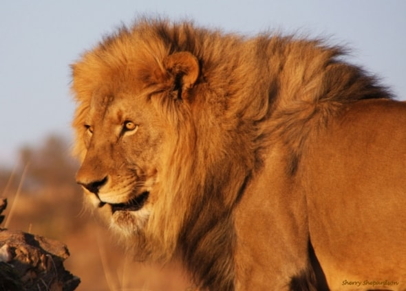 Lion in Golden Light