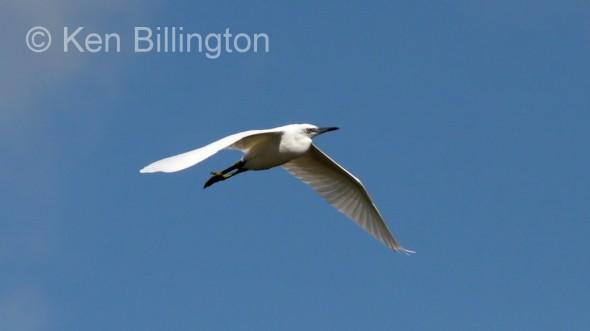 Little Egret (Egretta garzetta) (10)
