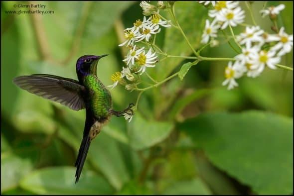 Purple-backed Thornbill (Ramphomicron microrhynchum)