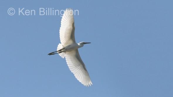 Little Egret (Egretta garzetta) (02)