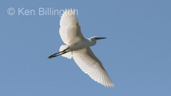 Little Egret (Egretta garzetta) (03)