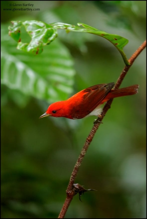 Scarlet and White Tanager (Chrysothlypis salmoni)