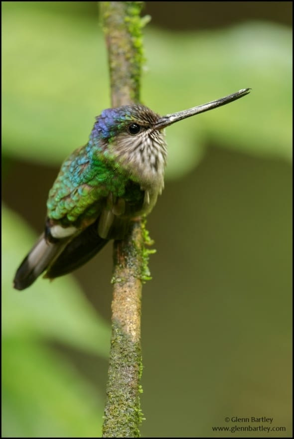 Tooth-billed Hummingbird (Androdon aequatorialis)