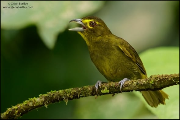 Lemon-spectacled Tanager (Chlorothraupis olivacea)