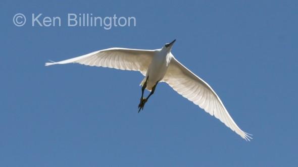 Little Egret (Egretta garzetta) (07)