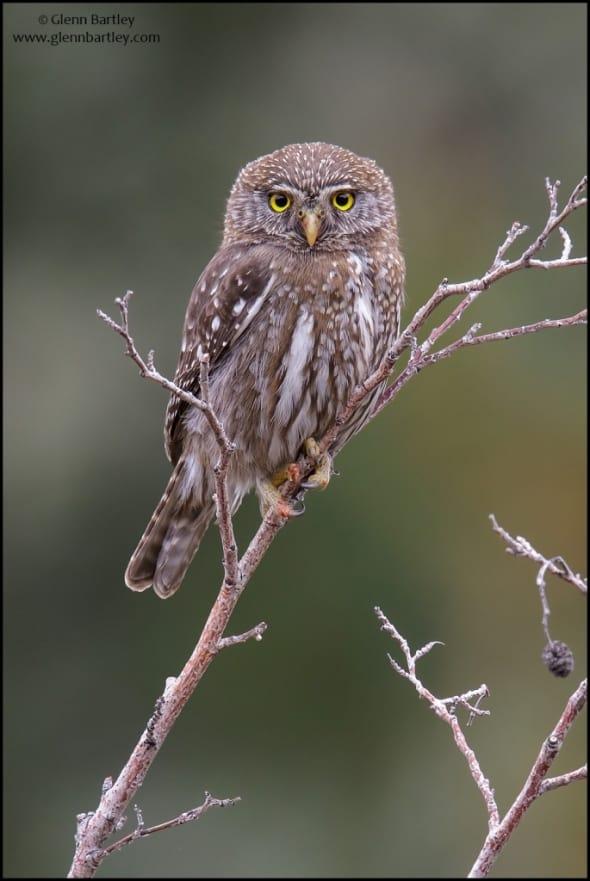 Austral Pygmy-Owl(Glaucidium nana)