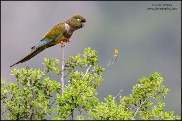 Burrowing Parakeet(Cyanoliseus patagonus)