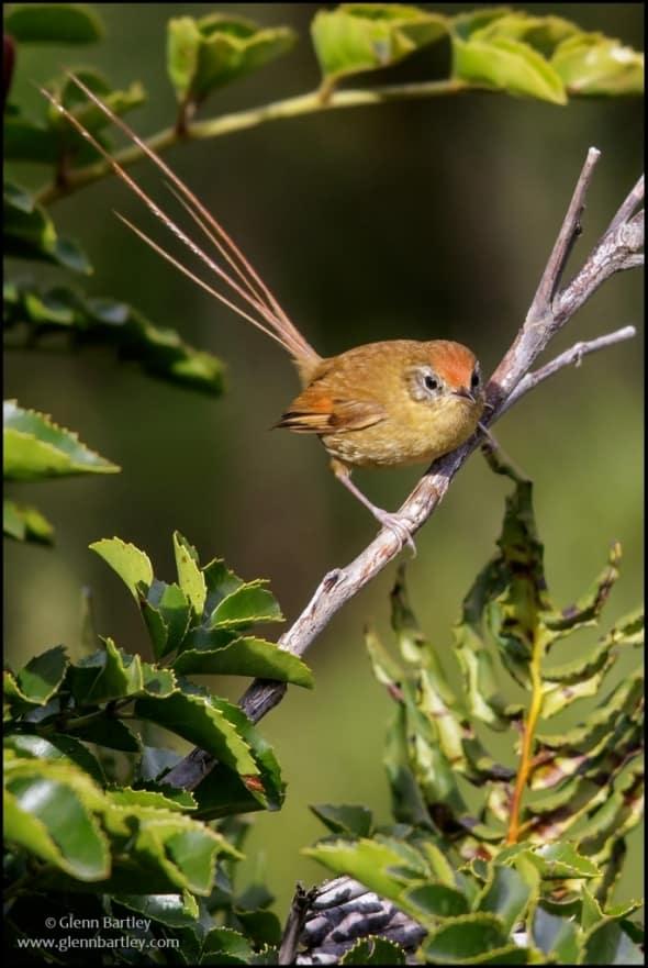 Des Murs's Wiretail(Sylviorthorhynchus desmursii)