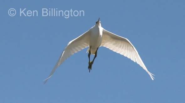 Little Egret (Egretta garzetta) (08)
