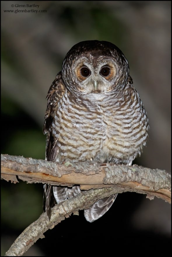 Rufous-legged Owl(Strix rufipes)