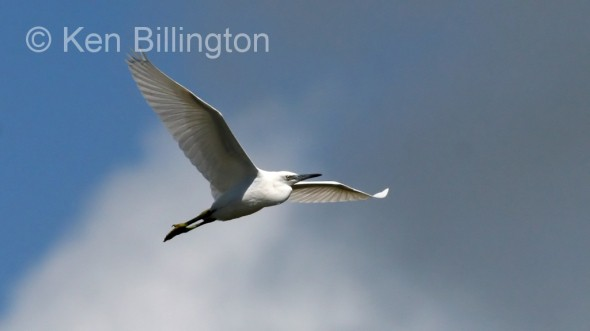 Little Egret (Egretta garzetta) (09)