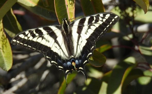 Papilionidae - Swallowtail