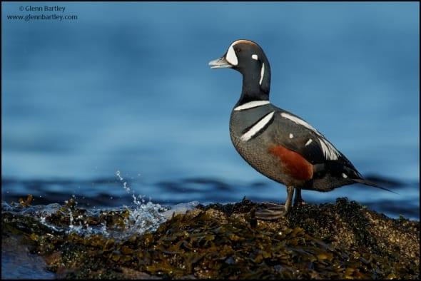 Harlequin Duck (Histrionicus histrionicus)