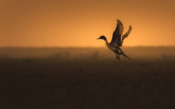 Pintail-scape