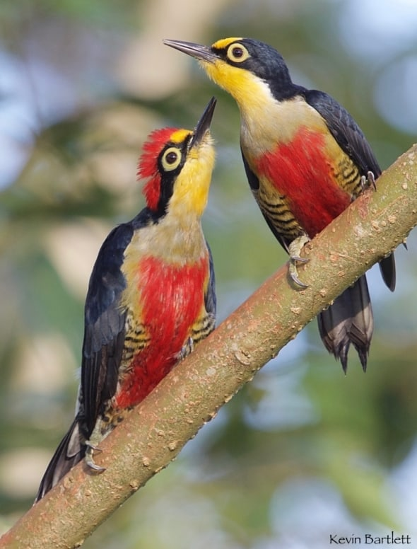 Yellow-fronted Woodpeckers