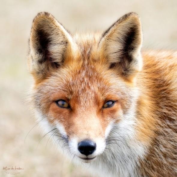 Femala Red Fox (Vulpes Vulpes)