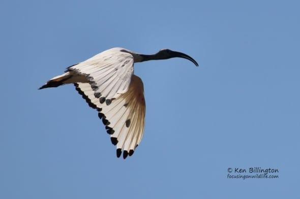 African Sacred Ibis Threskiornis Aethiopicus