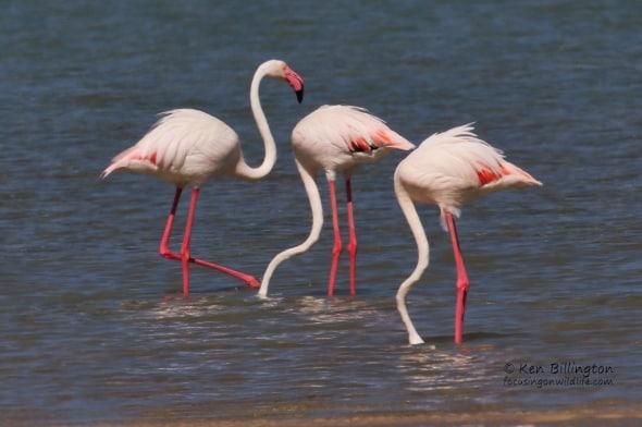 Lesser Flamingo (Phoenicoparrus Minor)