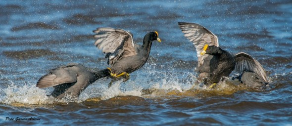 Water Fight - Fulica Leucoptera