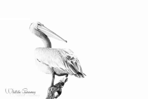 Hight Key Pelican