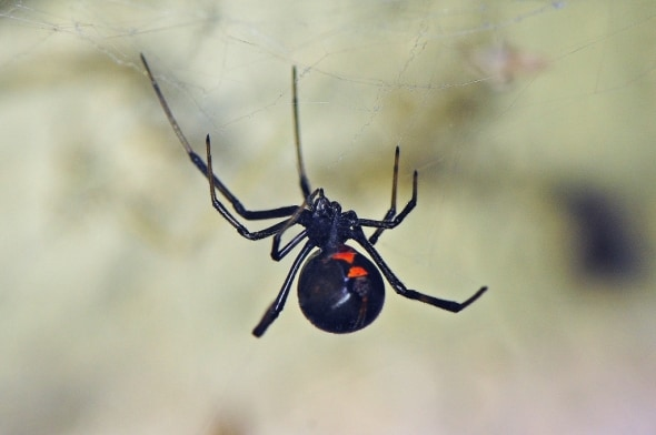 Black Widow -  Latrodectus Hesperus