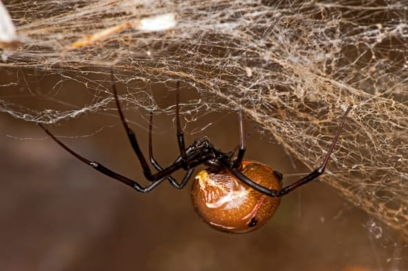 Brown Widow - Latrodectus Geometricus