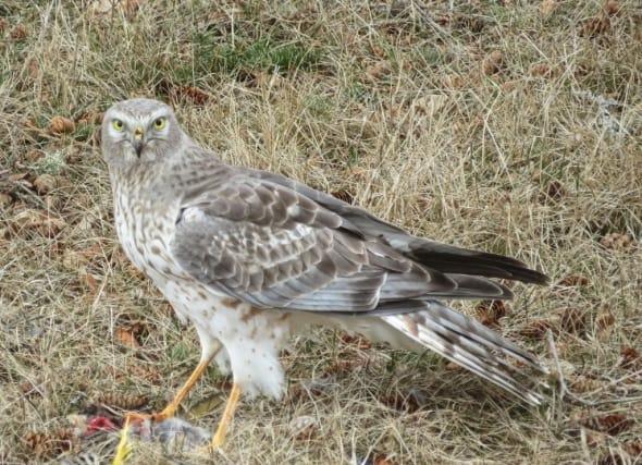 Hawk Looking at You