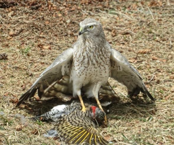Hawk and Unfortunate Prey
