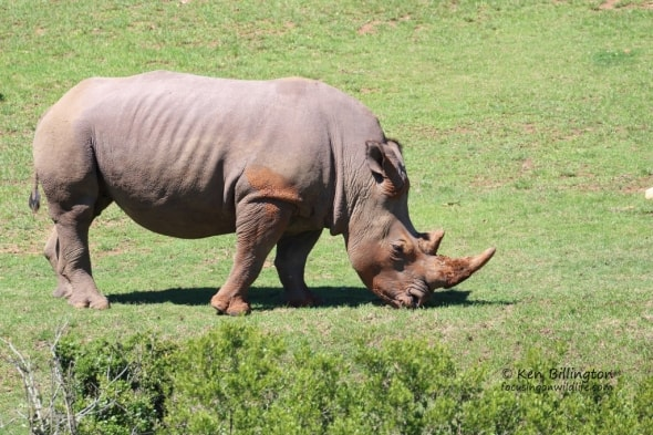 Mud-coated White Rhino