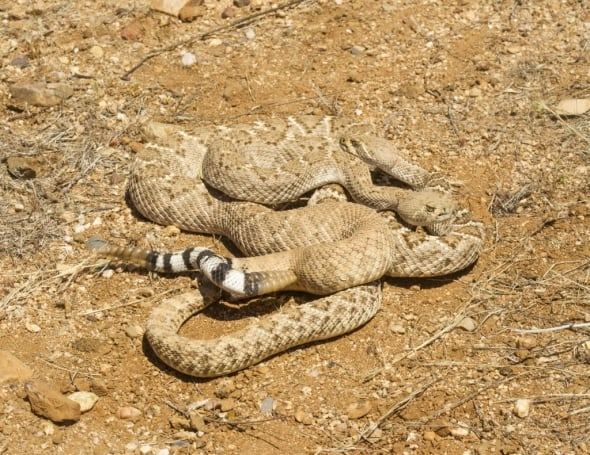 Western Diamond-backed Rattlesnakes Mating