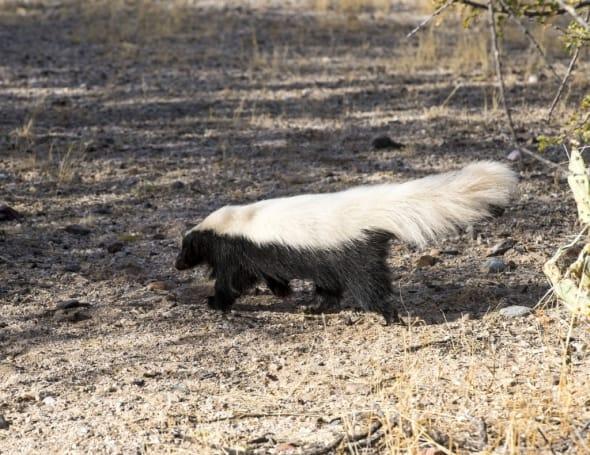 Hog-nosed Skunk