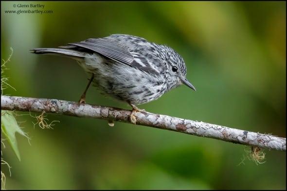 Arrowhead Warbler(Setophaga pharetra)