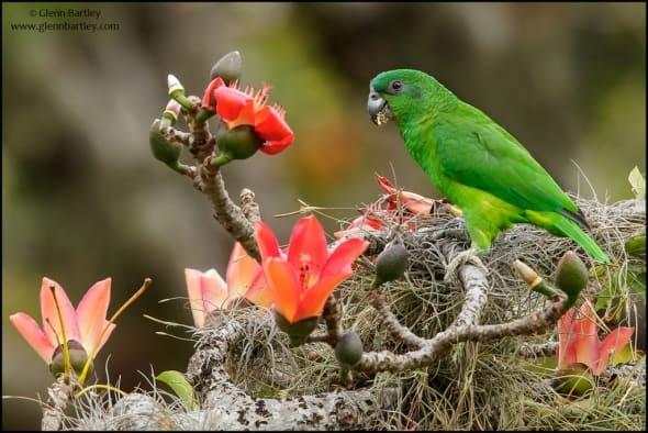Black-billed Parrot (Amazona agilis)