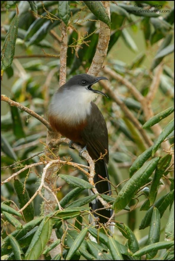 Chestnut-bellied Cuckoo (Coccyzus pluvialis)