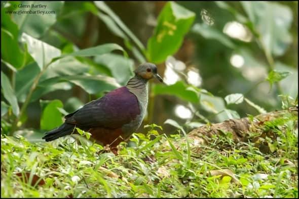 Crested Quail-Dove (Geotrygon versicolor)
