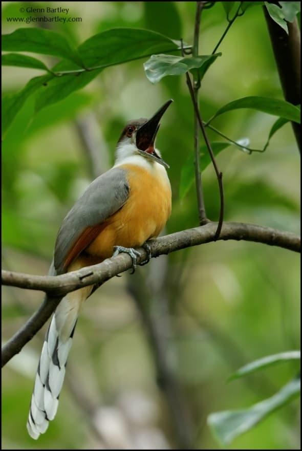 Jamaican Lizard-Cuckoo (Coccyzus vetula)