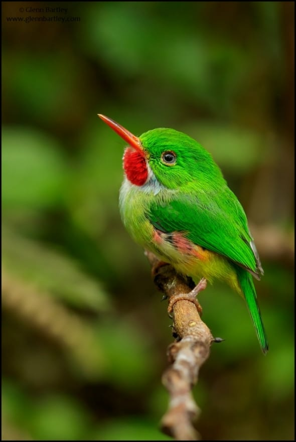 Jamaican Tody (Todus todus)