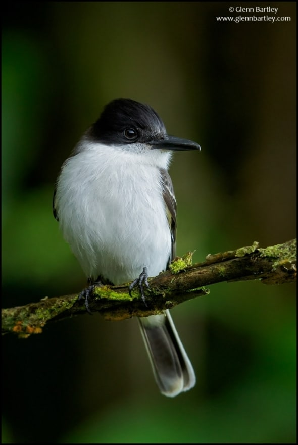Loggerhead Kingbird (Tyrannus caudifasciatus)