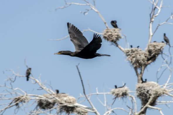 Double-crested Cormorant Fly Bye the Rookery