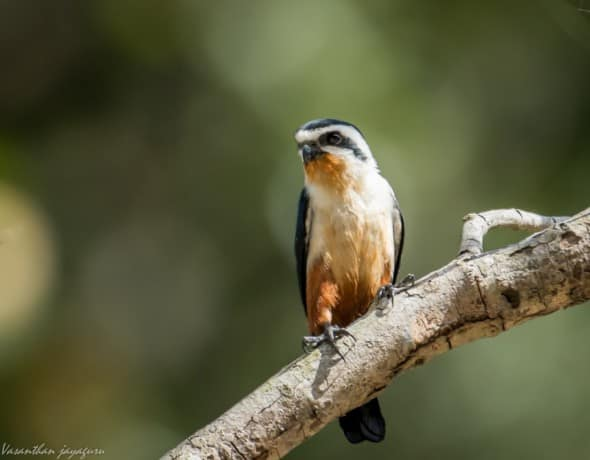 Collared Falconet (Microhierax caerulescens)