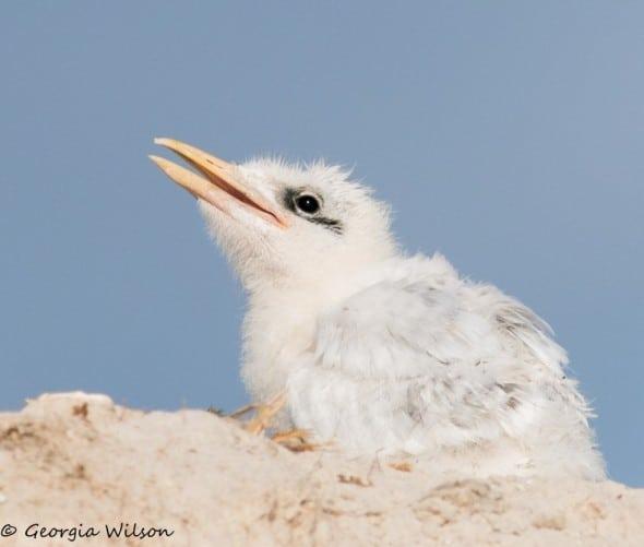 Royal Tern Chick