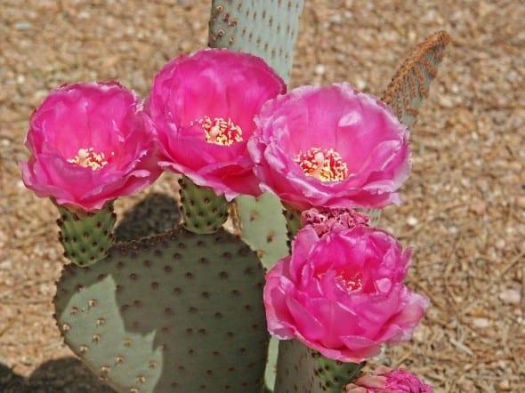 Beavertail Prickly Pear Cactus