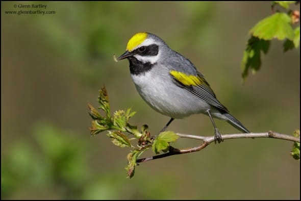 Golden-winged Warbler (Vermivora chrysoptera)