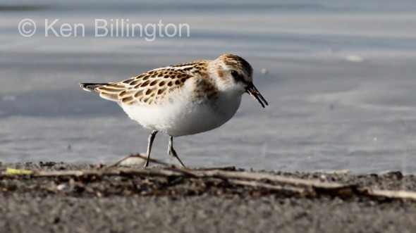 Little Stint (Calidris minuta) (12)