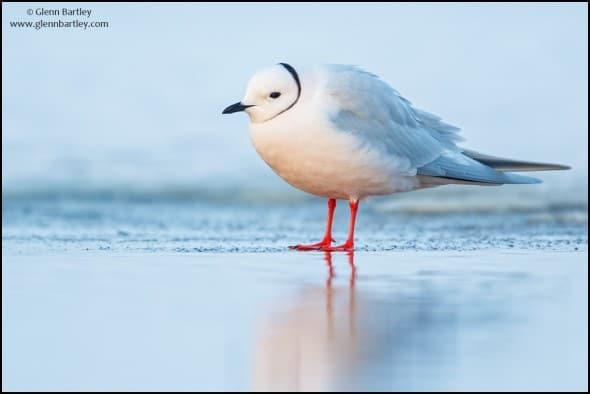 Ross's Gull (Rhodostethia rosea)