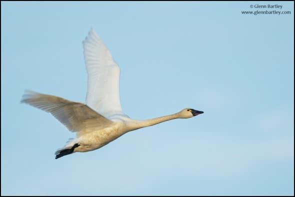 Tundra Swan (Cygnus columbianus)