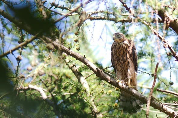 Juvenile Hawk not yet to Fly