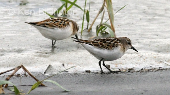 Little Stint (Calidris minuta) (02)