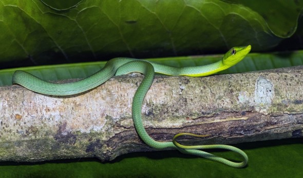 Green Vine Snake - Oxybelis Fulgidus