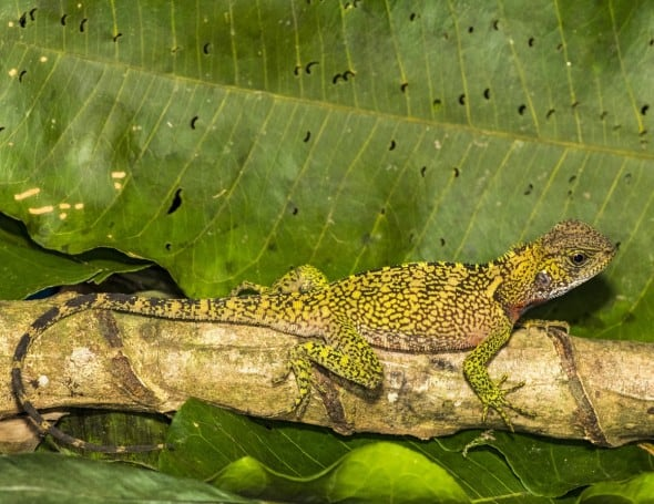 Amazon Forest Dragon